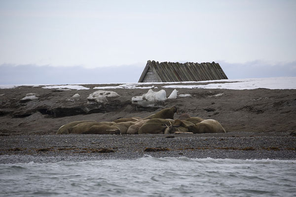 Foto van Walrus colony on the east side of Prins Karls Forland, an island west of Spitsbergen -  - Europa