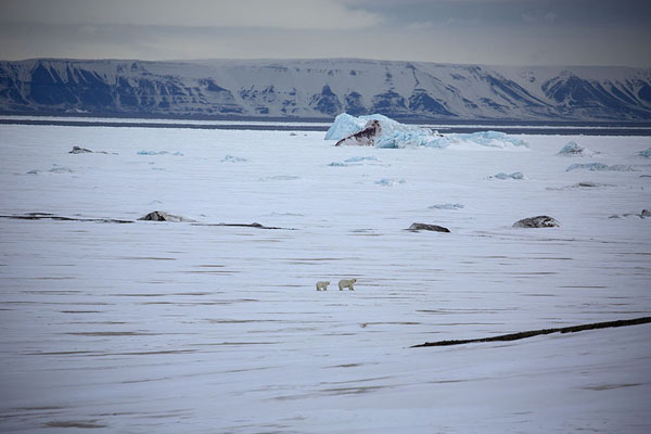 Polar bear with cub on the fast ice of Storfjorden | Motoneige à la côte de l'est de Spitsbergen |