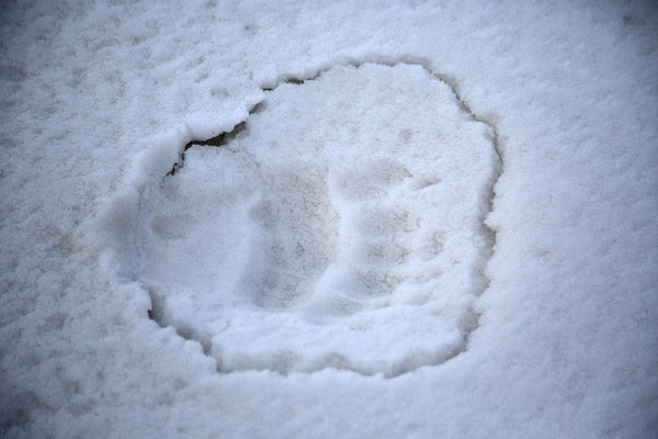 Footprint of a polar bear near Mohnbukta | Snowmobile to Spitsbergen East Coast | 司法勒巴和燕麦言