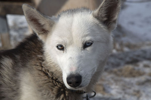 Close-up of one of the huskies with one blue and one brown eye | Andare in slitta trainata dai cani |