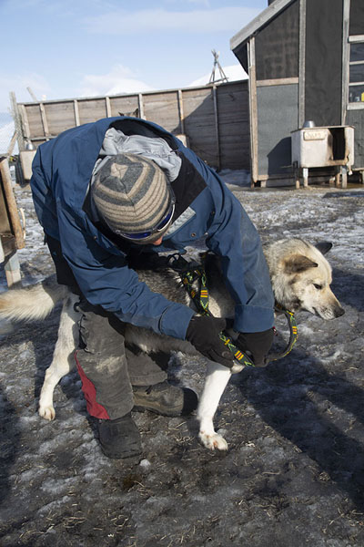 Foto van Putting a harness on a huskySpitsbergen -