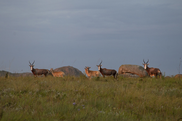 Foto di Close-up of some of the blesbok of Malolotja, the most common animal of the parkMalolotja - Swaziland