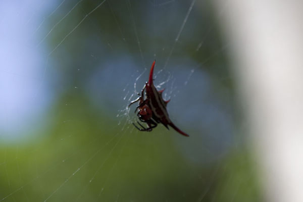 Picture of Colourful spider in its web between trees near Phophonyane falls