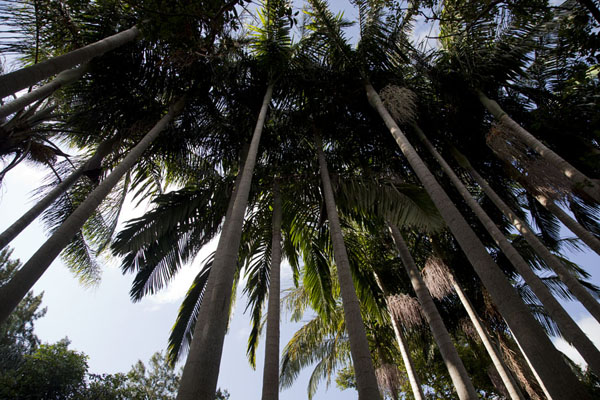 Looking up a row of palm trees near the falls | Phophonyane Falls | Swaziland