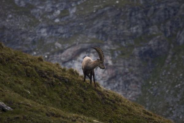 Picture of Ibex in its preferred habitat: the mountains