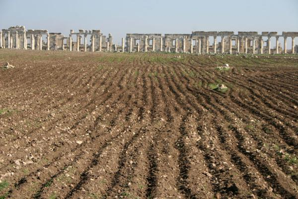 Picture of Apamea (Syria): Apamea: agricultural land leading up to the columns of the main street