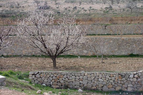Picture of Maloula (Syria): Blossom near Maloula