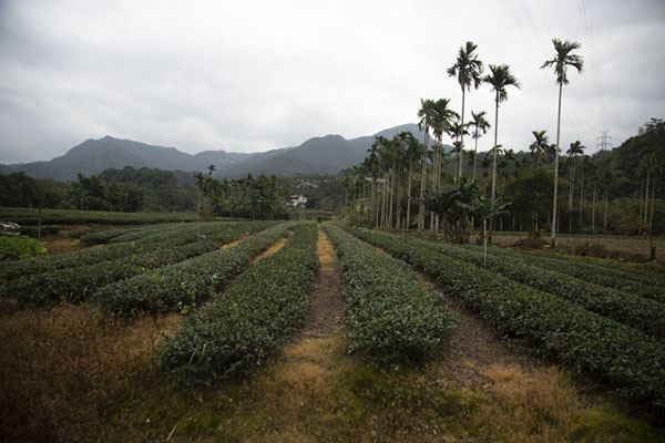 Tea plantation with palm trees near Pinglin - 台湾