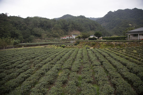 Neat rows of tea plants near Jingualiao hamlet | Champs de thé de Pinglin | Taiwan