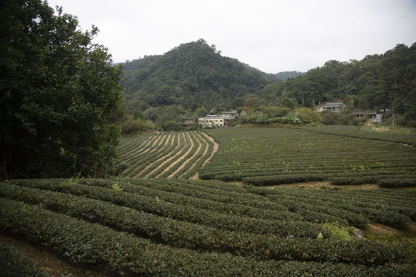 One of the many tea plantations | Champs de thé de Pinglin | Taiwan