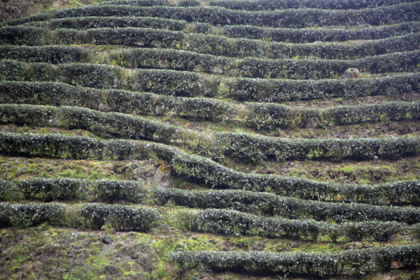 Tea plants growing on a hill near Pinglin | Champs de thé de Pinglin | Taiwan