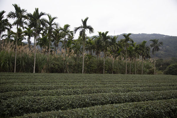 Palm trees lining a field with tea plants | Champs de thé de Pinglin | Taiwan