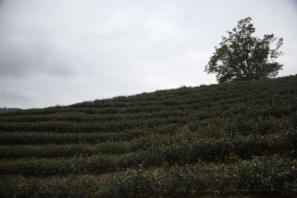 Looking up a hill with a tea plantaion | Champs de thé de Pinglin | Taiwan