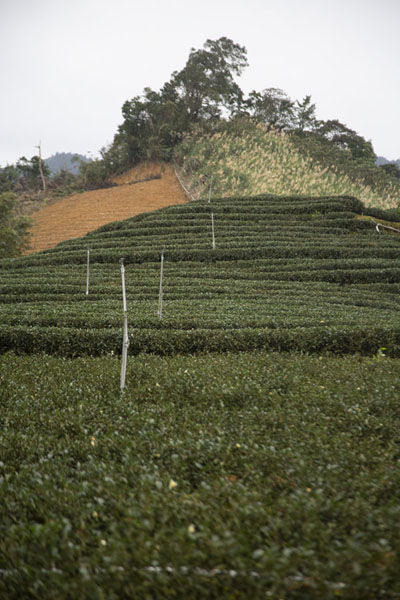 Foto de Looking up a hill covered in tea fieldsPinglin - Taiwán