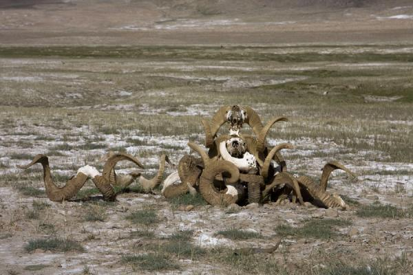 Picture of Keng Shiber (Tajikistan): The remains of Marco Polo sheep: a stack of horns