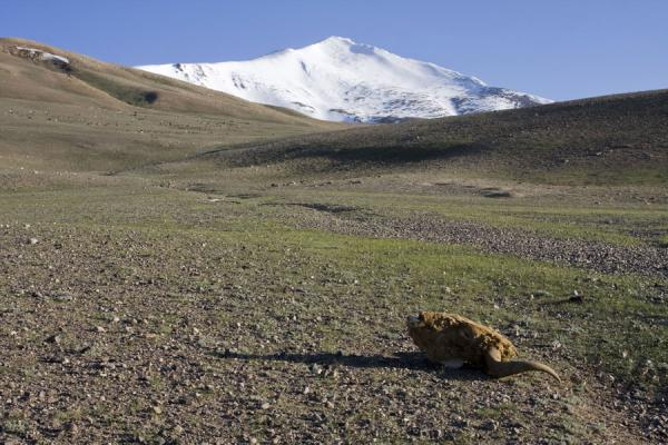 Picture of Keng Shiber (Tajikistan): Head of a yak lying on a plain of Keng Shiber