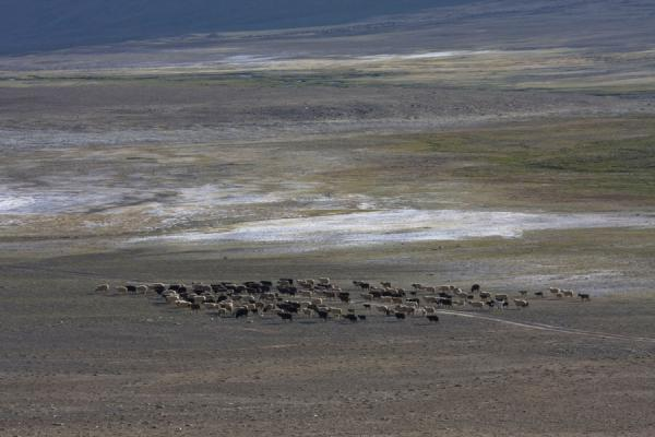 Picture of Keng Shiber (Tajikistan): Sheep on an empty plain in Keng Shiber