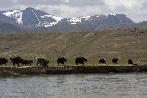 Foto van Yaks on the eastern banks of Alichur river, close to Yashil KulYashil Kul - Tadzjikistan
