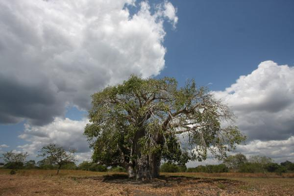 Baobab tree, claimed to be 500 years old | Kaole Ruins | Tanzania