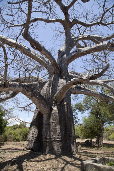 The giant baobab tree in the middle of the graveyard | Ruines de Kunduchi | Tanzanie