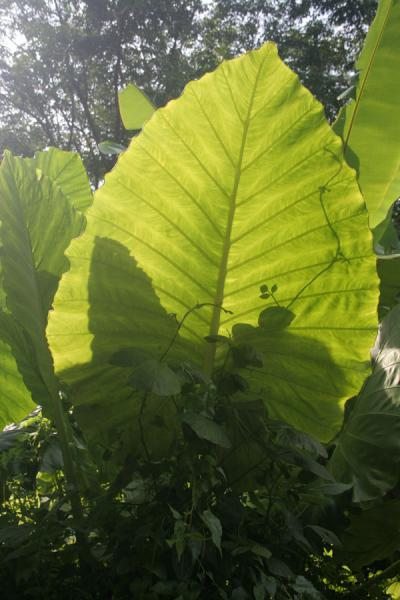 One of the giant leaves in the forest of Ko Mook | Ko Mook | Thailand