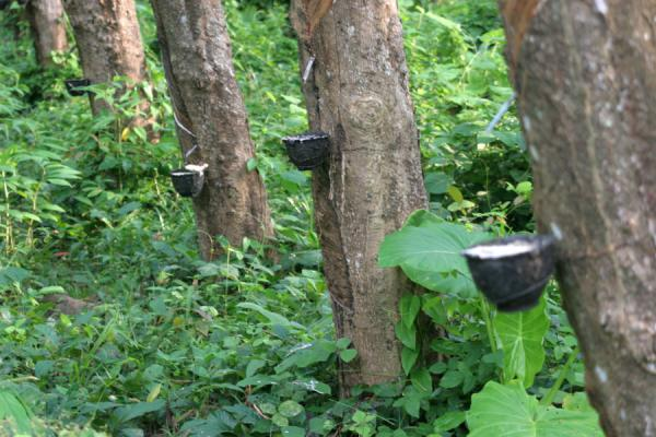 Picture of Ko Mook: rubber tree plantation
