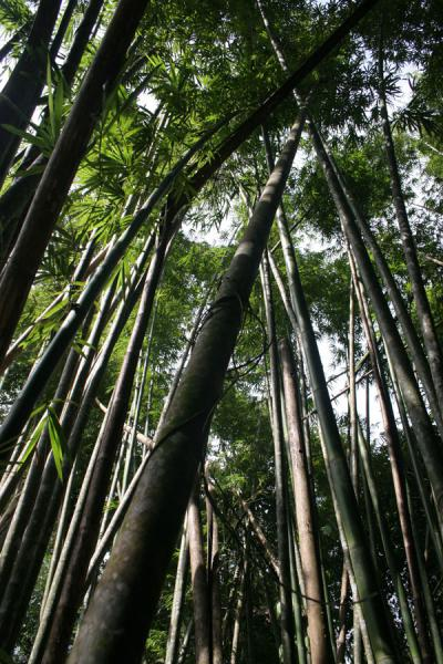 Picture of Raman Forest (Thailand): Raman Forest: bamboo in abundance