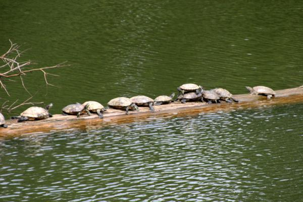 Foto de Turtles taking a rest on one of the logs in the lake at Wat Khao SukimWat Khao Sukim - Tailandia