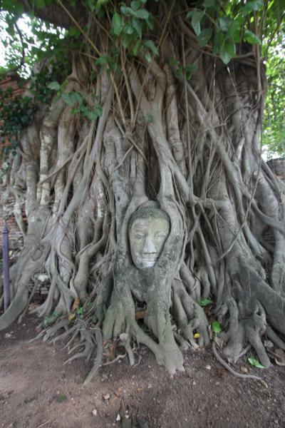 Picture of Wat Phra Mahathat (Thailand): The symbol of Wahathat: a Buddha head in the roots of a tree