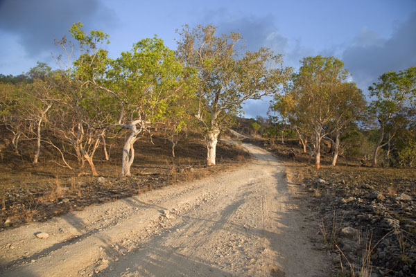 Photo de Trees lining the track from Beloi to AdaraAtauro - Timor Oriental