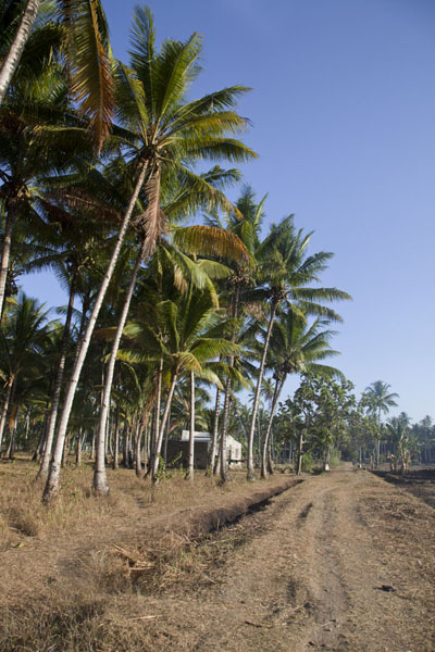 Photo de Road lined with palm trees at the outskirts of LospalosLospalos - Timor Oriental
