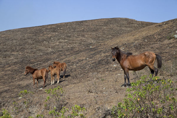 Photo de Wild horses on the mountains in western East TimorBobonaro District - Timor Oriental