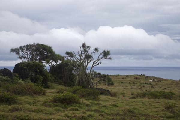 Trees with wild horses in the background roaming in the rugged southeastern corner of 'Eua island | 'Eua island | Tonga