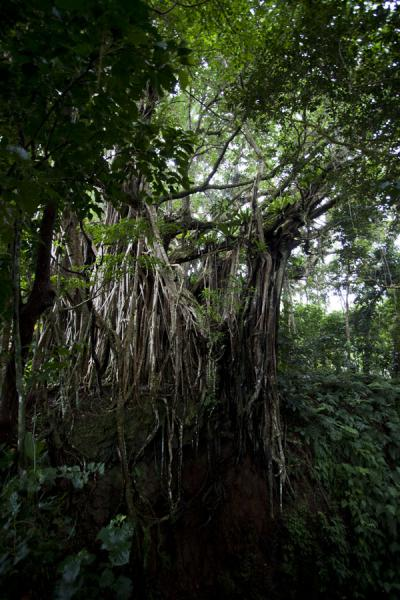 Picture of 'Eua island (Tonga): Giant banyan tree in the primary rainforest of 'Eua island