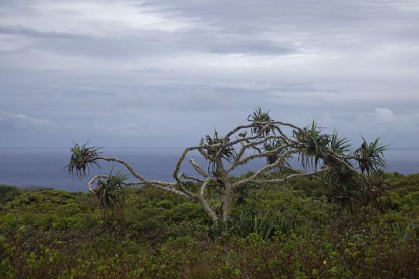 Battered by the wind, this tree still stands strong on the exposed southeastern coast of 'Eua | 'Eua island | Tonga