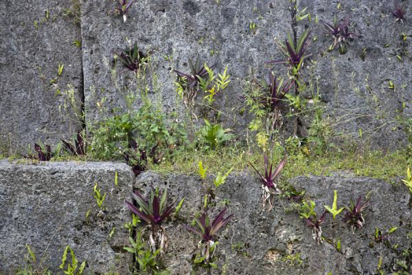 Picture of Lapaha Langi (Tonga): Plants growing in the niches between the monoliths that make up Paepae 'o Tele'a