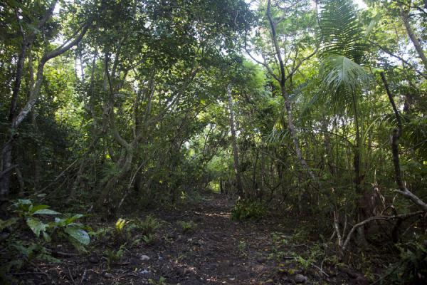 Picture of Ofu island (Tonga): The forest of Ofu island