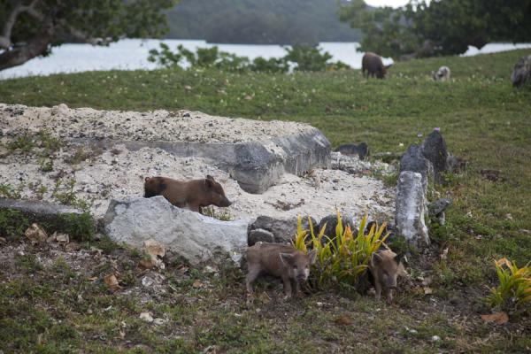 Picture of Tongan cemeteries (Tonga): Piglets on a grave on Vava'u island