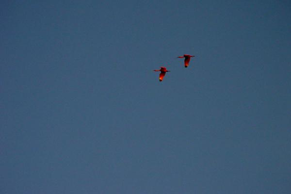 Picture of Caroni Bird Sanctuary (Trinidad & Tobago): Scarlet ibis in flight in Caroni, Trinidad
