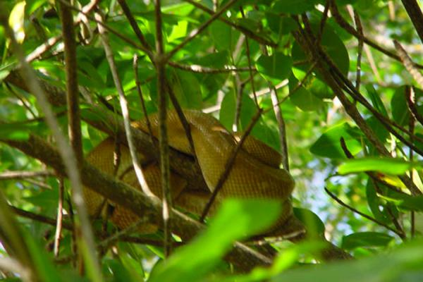 Picture of Caroni Bird Sanctuary (Trinidad & Tobago): Snake in tree in Caroni, Trinidad