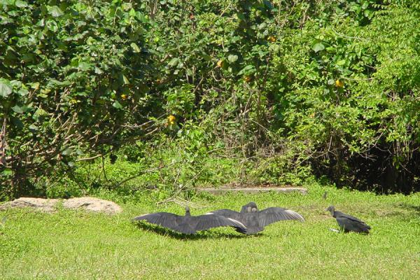 Vultures getting rid of excessive heat | South Trinidad | Trinidad & Tobago