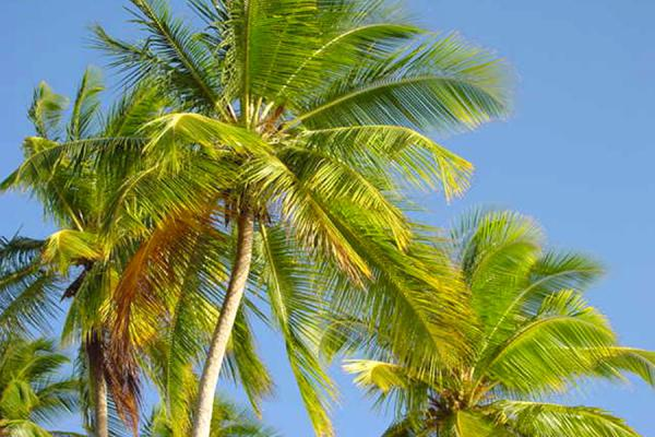 Palm trees over the beach | Playas de Tobago | Trinidad & Tobago