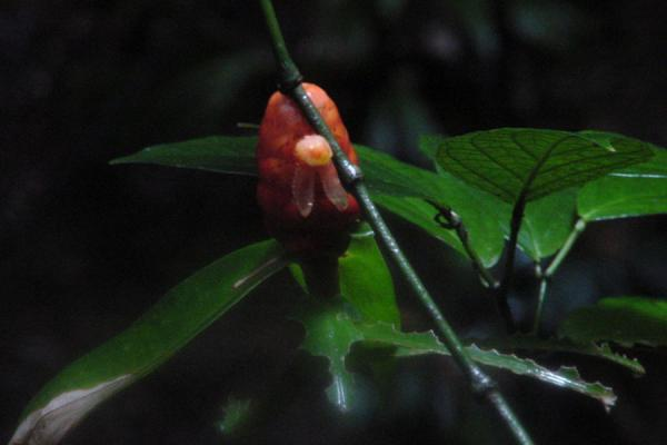 One of the typical fruits | Tobago Rain Forest Reserve | Trinidad & Tobago