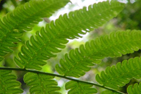 Close up of fern leafs | Tobago Rain Forest Reserve | Trinidad & Tobago