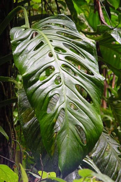 Leaf with holes | Tobago Rain Forest Reserve | Trinidad & Tobago