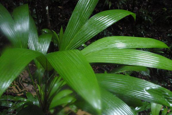 Typical tropical plant with bright green leaves | Tobago Rain Forest Reserve | Trinidad & Tobago