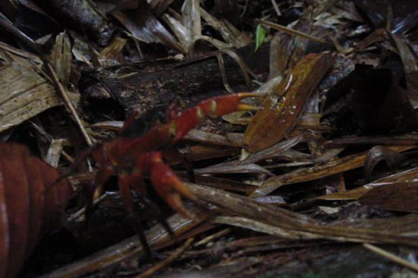 Crab in the rain forest | Tobago Rain Forest Reserve | Trinidad & Tobago