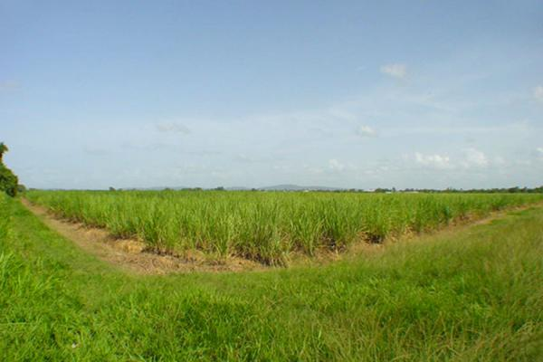 Picture of Waterloo Trinidad (Trinidad & Tobago): Sugsar cane fields, Waterloo, Trinidad