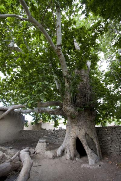 Foto van Old tree in NokhurNokhur - Turkmenistan