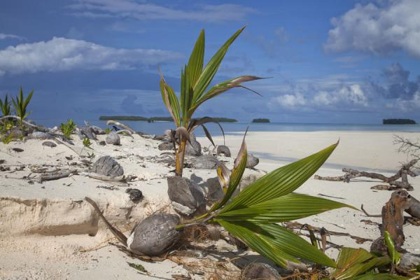 Palm trees sprouting out of these coconuts on Telele islet | Isola di Funafala | Tuvalu